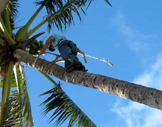 Palm-Tree-Trimming-Myrtle Beach's Best Tree Care Services-We Offer Tree Trimming Services, Tree Removal, Tree Pruning, Tree Cutting, Residential and Commercial Tree Trimming Services, Storm Damage, Emergency Tree Removal, Land Clearing, Tree Companies, Tree Care Service, Stump Grinding, and we're the Best Tree Trimming Company Near You Guaranteed!